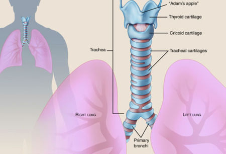 Figure 1. Diagram of a trachea [A]