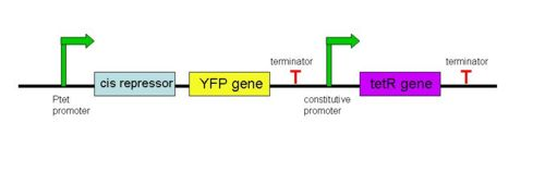 The general structure of a cis-repressive element for the YFP gene in our inducible Ptet/TetR system.