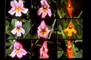 Mimulus lewisii and Mimulus cardinalis with hybrids