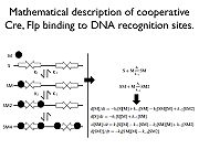Proposed binding mechanism for Cre, Flp