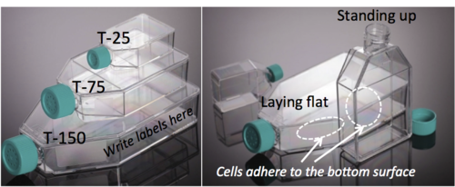 The Haynes lab uses three flask sizes: T-25 (small, for starting cultures from frozen stocks), T-75 (medium, for routine passaging and expanding cell cultures), and T-150 (large, for growing & harvesting large amounts of cells). A flask must be properly laid flat (where the opening tilts upward) so that the cells can adhere to & grow on the bottom inside surface.
