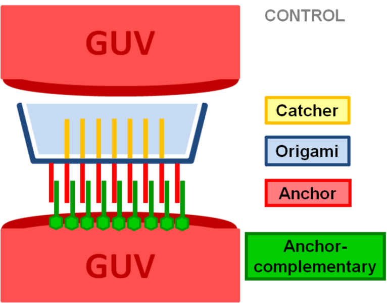 Image:GUVs with 10 mol% negative charge (DOPS) with catcher-complement strands as target speciesCONTROL1.png