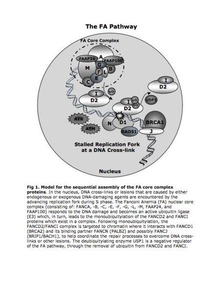 File:Intro-fig1 FA pathway.jpg