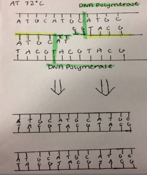 File:PCR 22.png