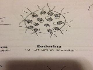 Nyeudorina.jpg