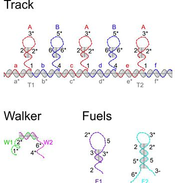 The DNA components of the walker system, for a walker with 5 footholds. W1 and W2 are the ssDNA that form the walker.