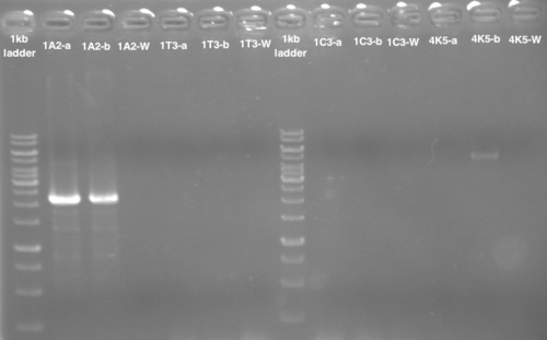 Agarose gel after PCR site directed mutagenesis and Digestion with DpnI. There are 2 samples for each plasmid modified, and W is for water, when the PCR was running without plasmids, only primers. We can see a band for plasmid pSB1A2 and plasmid pSB4K5