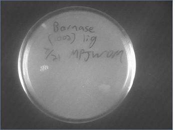 Barnase Ligation 07-23.jpg