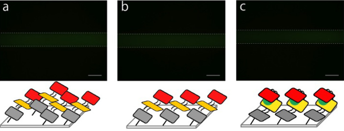 Fig. 2.3.1.2 Fluorescence images of DNA shells in the microchannel