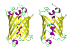 GFP molecules drawn in cartoon style, one fully and one with the side of the http://en.wikipedia.org/wiki/Beta_barrel [beta barrel] cut away to reveal the chromophore