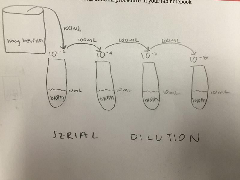 File:Lynda Arostegui serial dilution.JPG