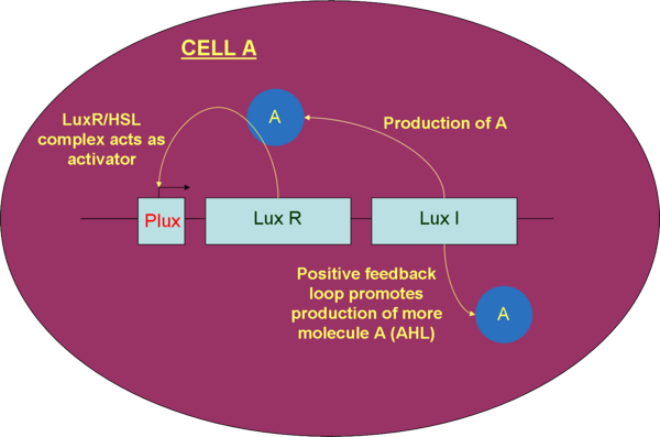 Figure 7.  Part diagram of cell A (prey cell), stimulated by pLux promoter