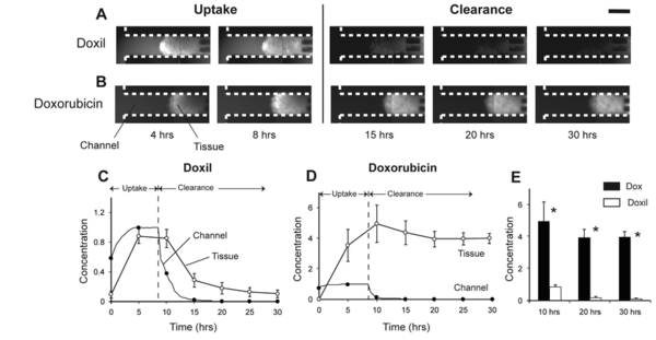 Figure 2: Microfluidic devices enable transport modelling of chemotherapeutic drug diffusion in tumor tissue. In these sets of experiments by Toley et. al., two chemotherapeutics, Doxorubicin and Doxil, were administered to tumors-on-a-chip. Diffusion rates of the two drugs were modelled during the uptake and clearance phase of the treatment. It was demonstrated that Doxil was cleared from the tumor significantly quicker that Doxorubicin [10].