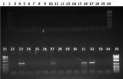 Fig 2. Double gel image showing samples 19-48, and 1Kb+ ladders in lanes 2, 20, 21 and 35. Only lanes 23, 27, 31 and 32 showed DNA product.