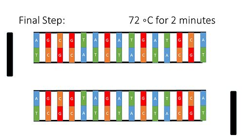 PCR Illustration 5.jpg