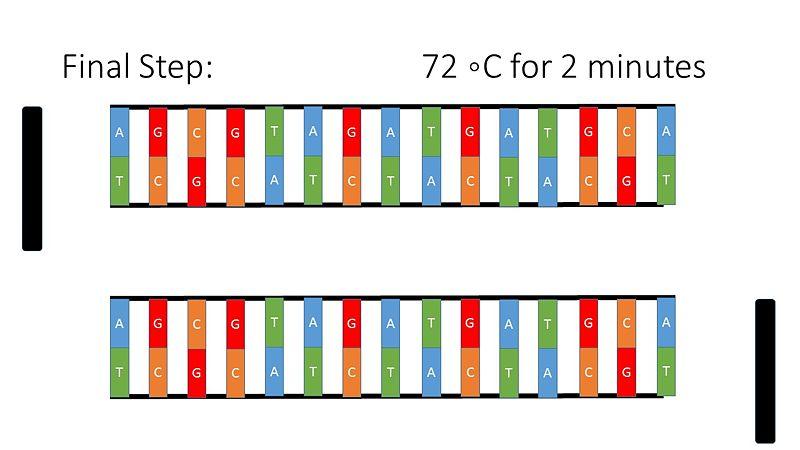 File:PCR Illustration 5.jpg