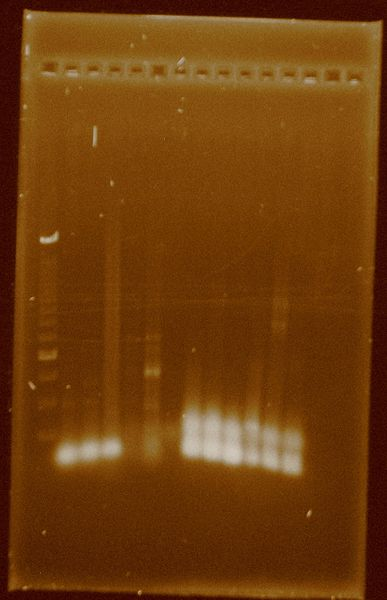 File:Dramirez 24-09-11 PCRsconcentrated Taq.jpg
