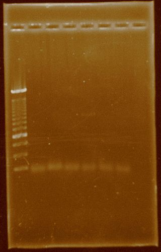 Dramirez PCR Pfxplatinum temperaturegradient HydA.jpg