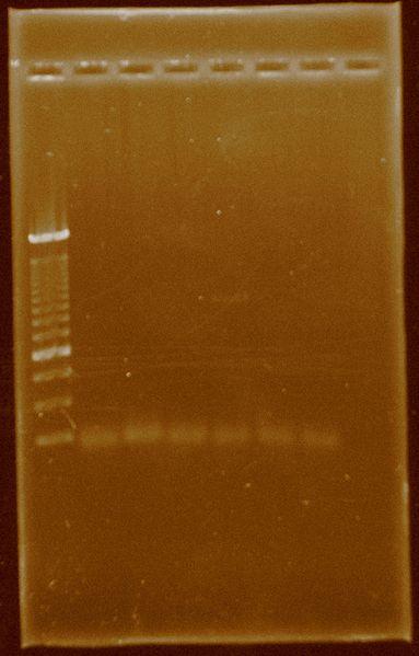 File:Dramirez PCR Pfxplatinum temperaturegradient HydA.jpg
