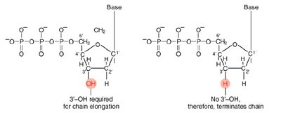 Normal bases versus chain-terminating bases