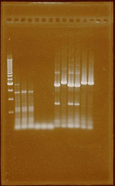 File:PCR15thSep.HydEF1 2 PFOR2 HydG.jpg