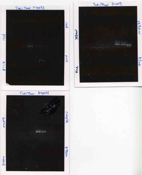 Agarose gels for Tuesday/Thursday section