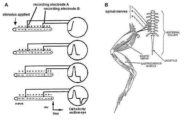 lab 9 conduction velocity of nerves openwetware