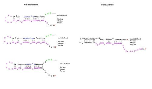 The cis5,6 and 8 repressive riboregulators are shown with their corresponding activators, trans3.