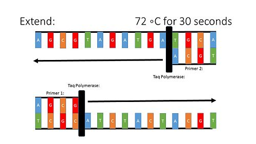 PCR Illustration 4.jpg