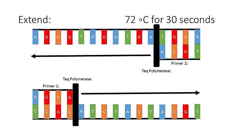 File:PCR Illustration 4.jpg
