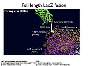 Full length GFP-lacZ fusion
