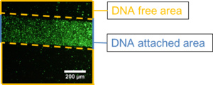 Figure3:The result of DNA ciliate gathering on DNA track.This figure is taken by using fluorescent phase contrast.