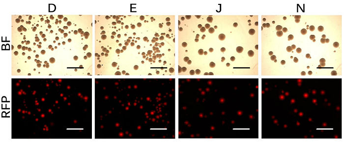 Red fluorescence image of pSB1C3-BBa R0010-BBa K516032 candidate colonies.jpg