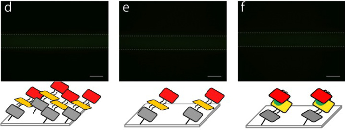 Fig.4 Fluorescence images of DNA shells in a microchannel