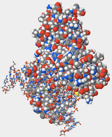 Figure 1: The space-filling model of DNA Glycosylase. Note the smaller, less-visible DNA displayed as a ball and stick model.