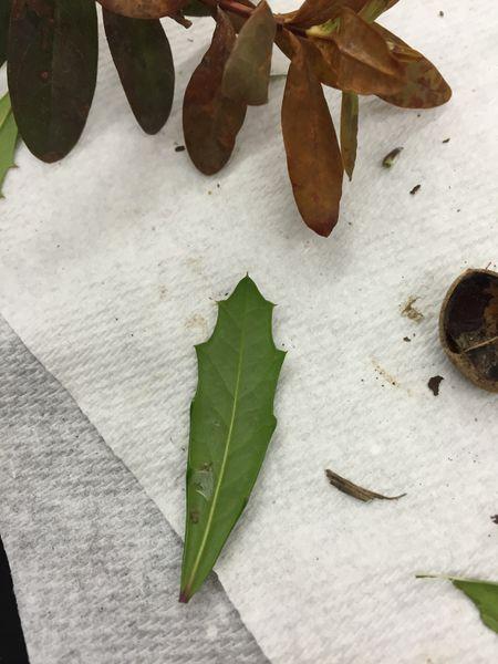 File:Plant Sample 4a Rachel Weger.JPG