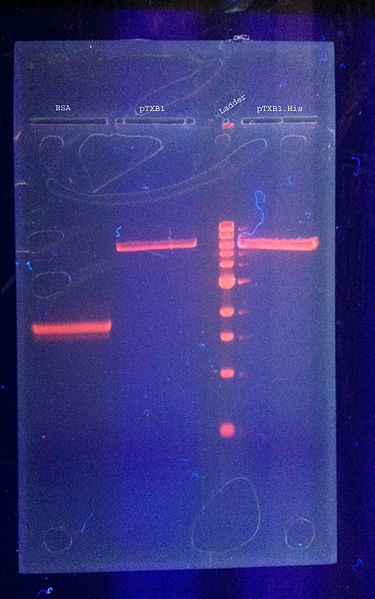 File:DNAgel purification 8.24.2011 labeled.jpg