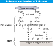 Bonding of poly-L-lysine and glass surface