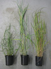 Three major ecotypes of switchgrass (P. virgatum): The northern upland ecotype (left), the southern lowland ecotype (center), and the gulf coast type (right)