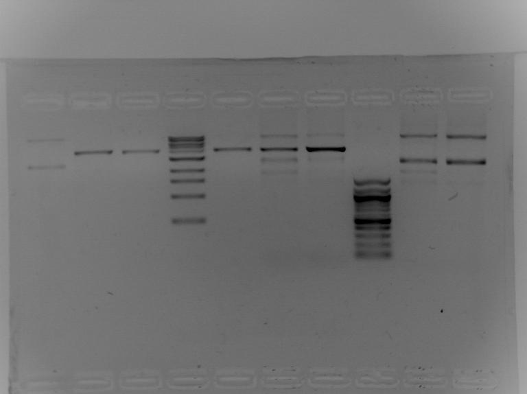 File:S13 M2D5 WF gel-Blue.jpg