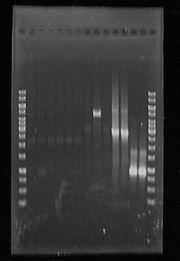 PCR13Sep2010 GelRun14Sep2010.JPG