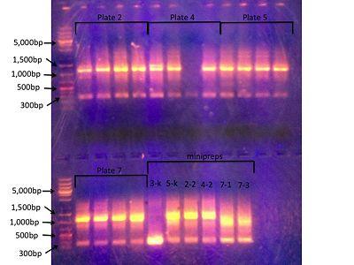 colony PCR