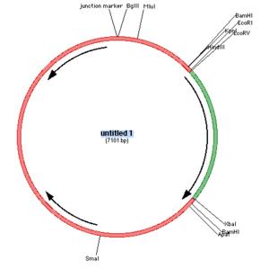 GCK circular DNA schematic.png