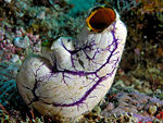 Underwater image of a sea squirt (Polycarpa aurata) from Komodo National Park.