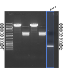 2015-04-07 gBlock PCR product gel annotated.png