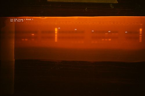 Col PCR Gel -1 Part B.jpg