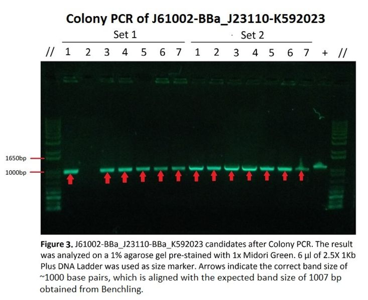 Image:Gelelectrophoresis aftercolonyPCR.jpeg