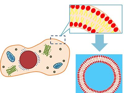 Our strategy is making liposome indeed cell's membrane