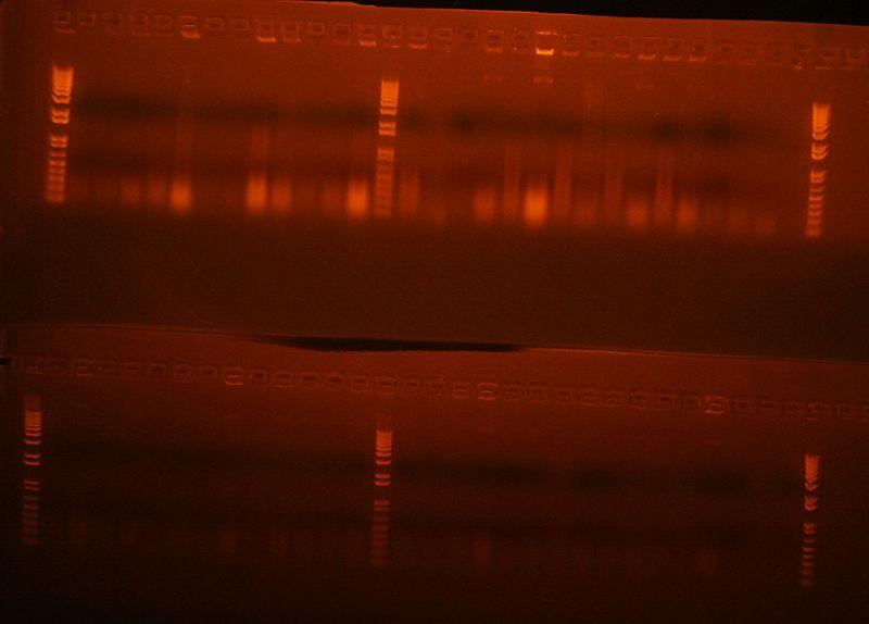 File:Colony PCR Stage1 A+B Columns 7-10.jpg