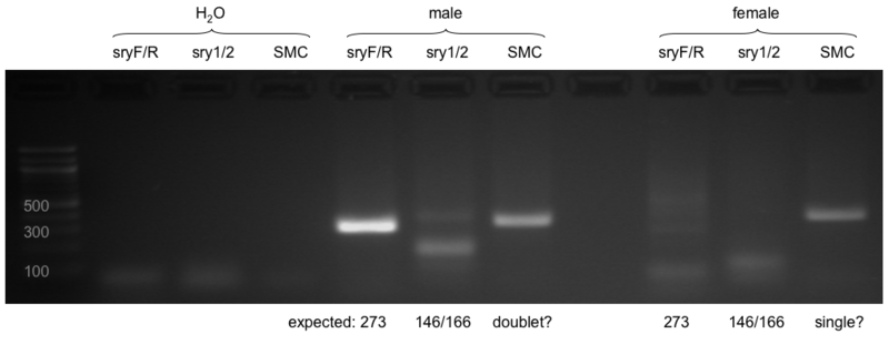 File:Mouse sex genotyping.png